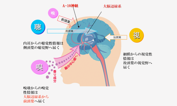 五感のなかで嗅覚だけが、脳にダイレクトに作用する